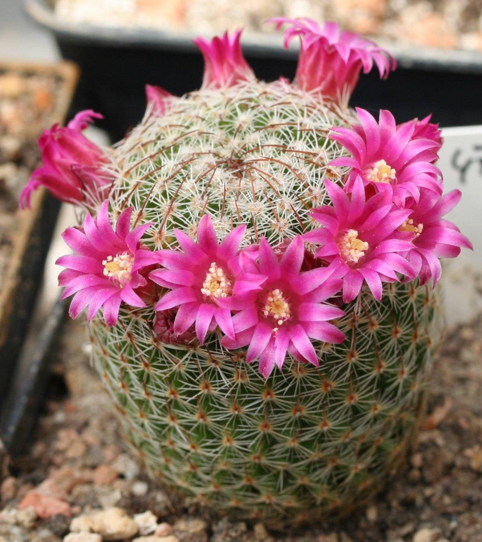 bradavicasti-kaktus