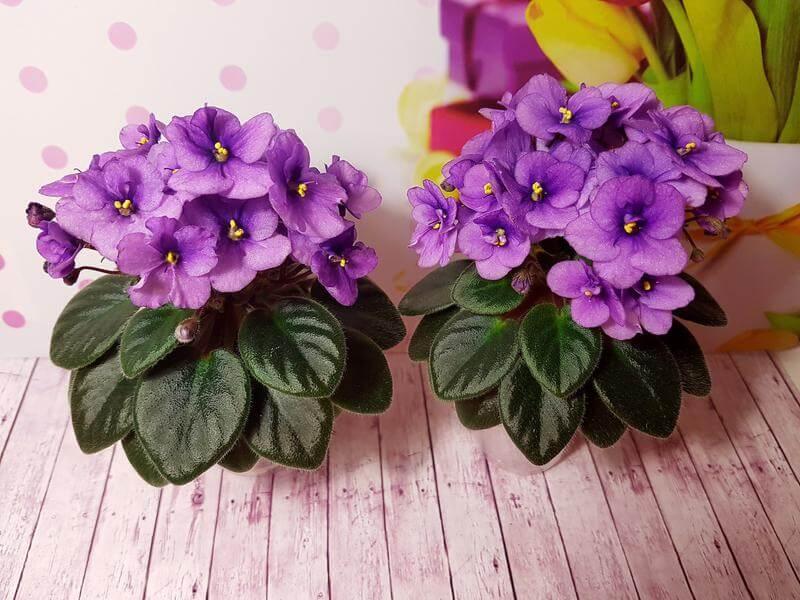 saksijsko cvece