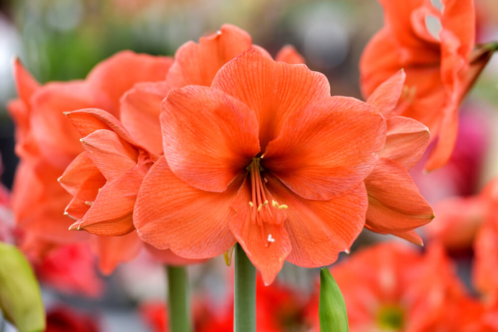 Amarilis Cvećara Jelena