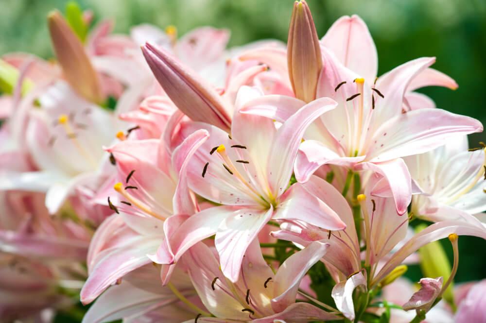 Cveće koje voli sunce Cvećara Jelena