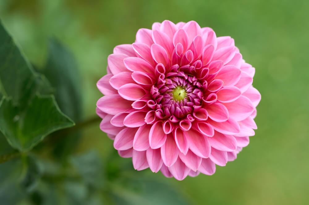Dalija 2 - cvećara Jelena