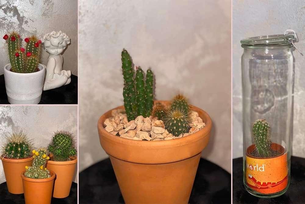 Gajenje kaktusa u kući