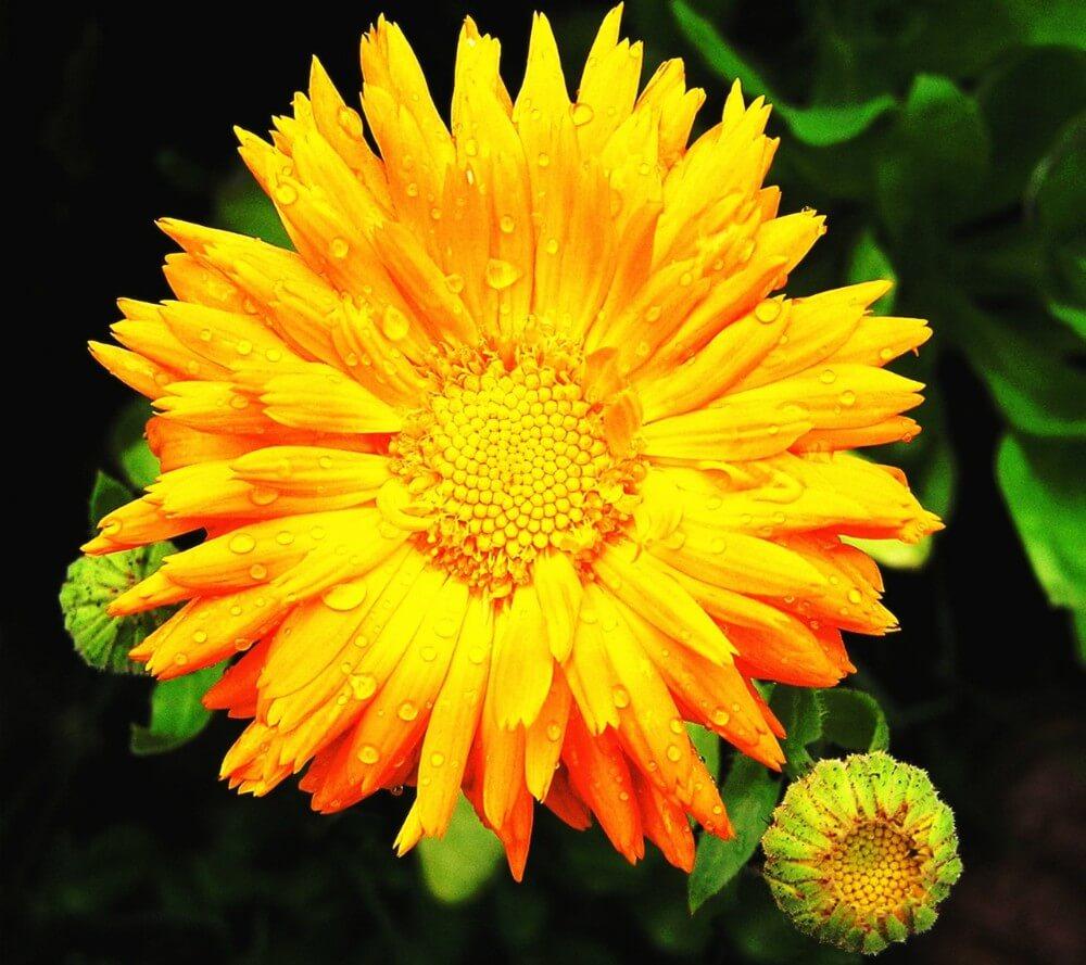 Najlepše žuto cveće
