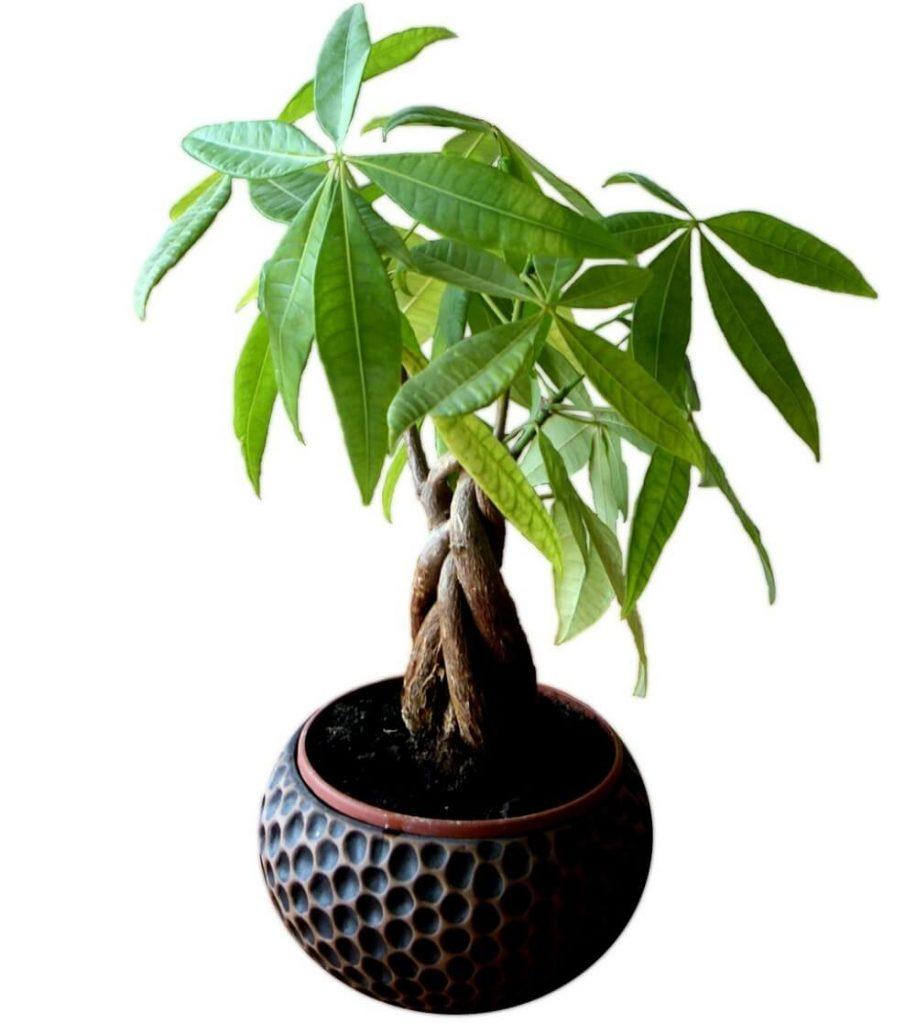Pahira biljka u saksiji