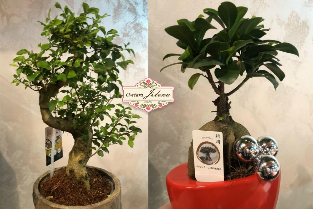 Novogodišnji poklon bonsai