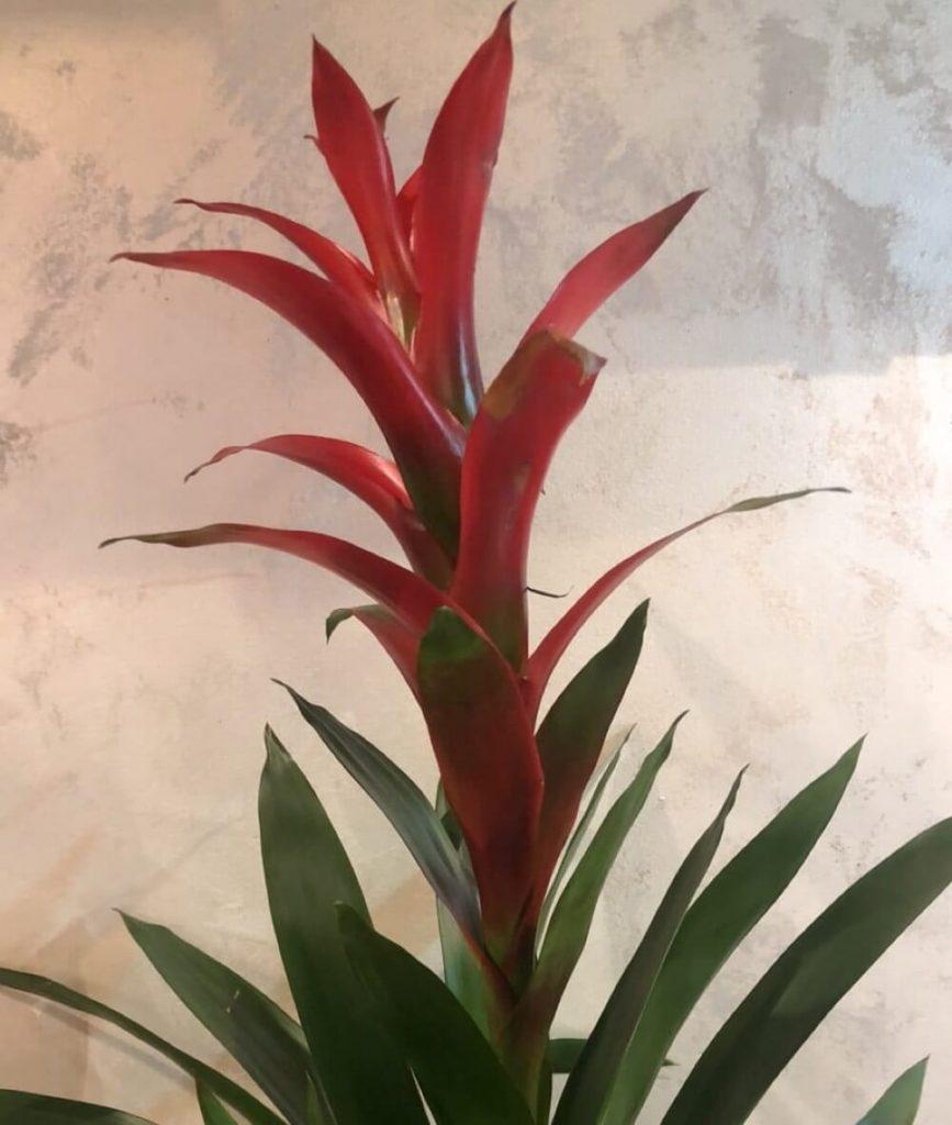 biljka bromelija