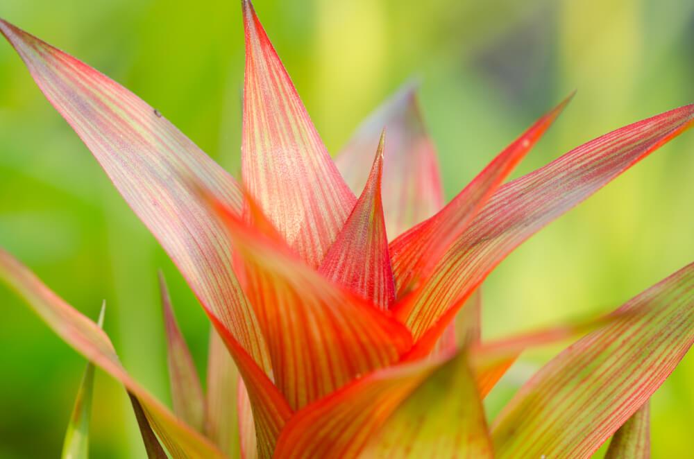 Guzmanija nega biljke
