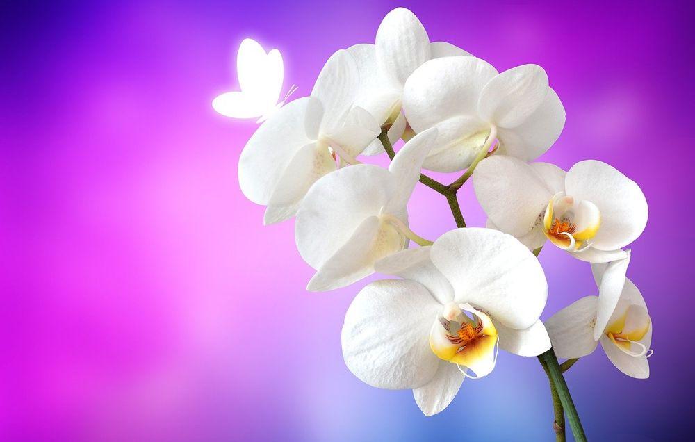 Bele orhideje, cvećara Jelena