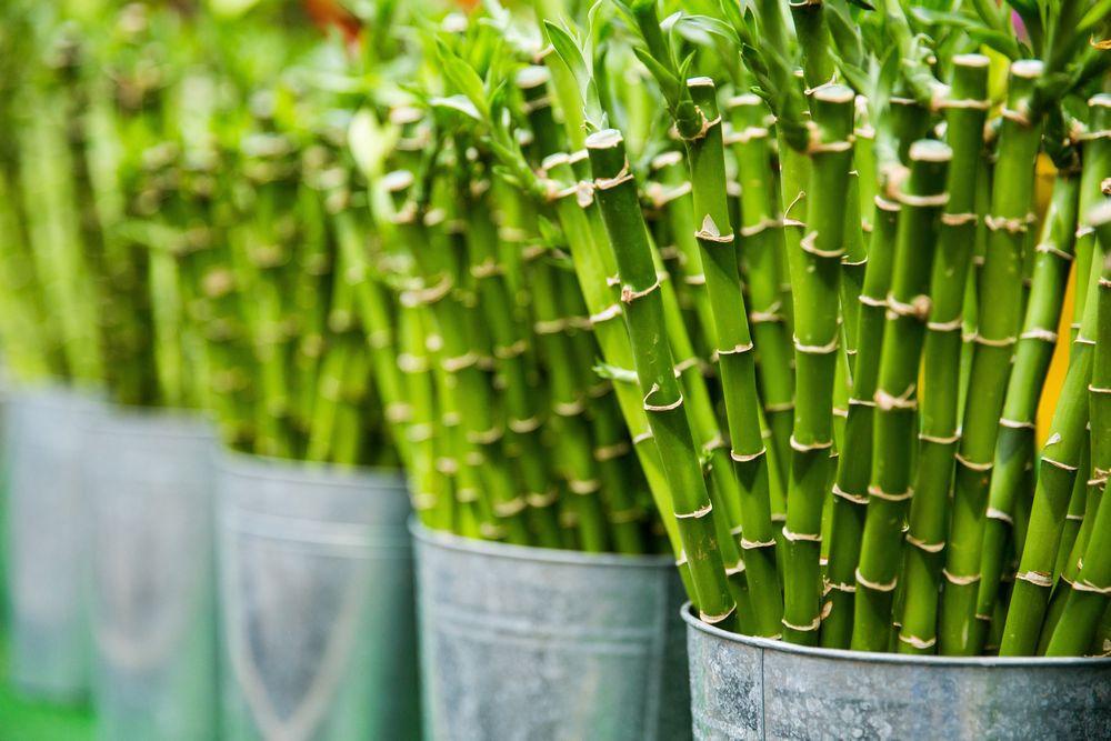 Srećni bambus, Cvećara Jelena